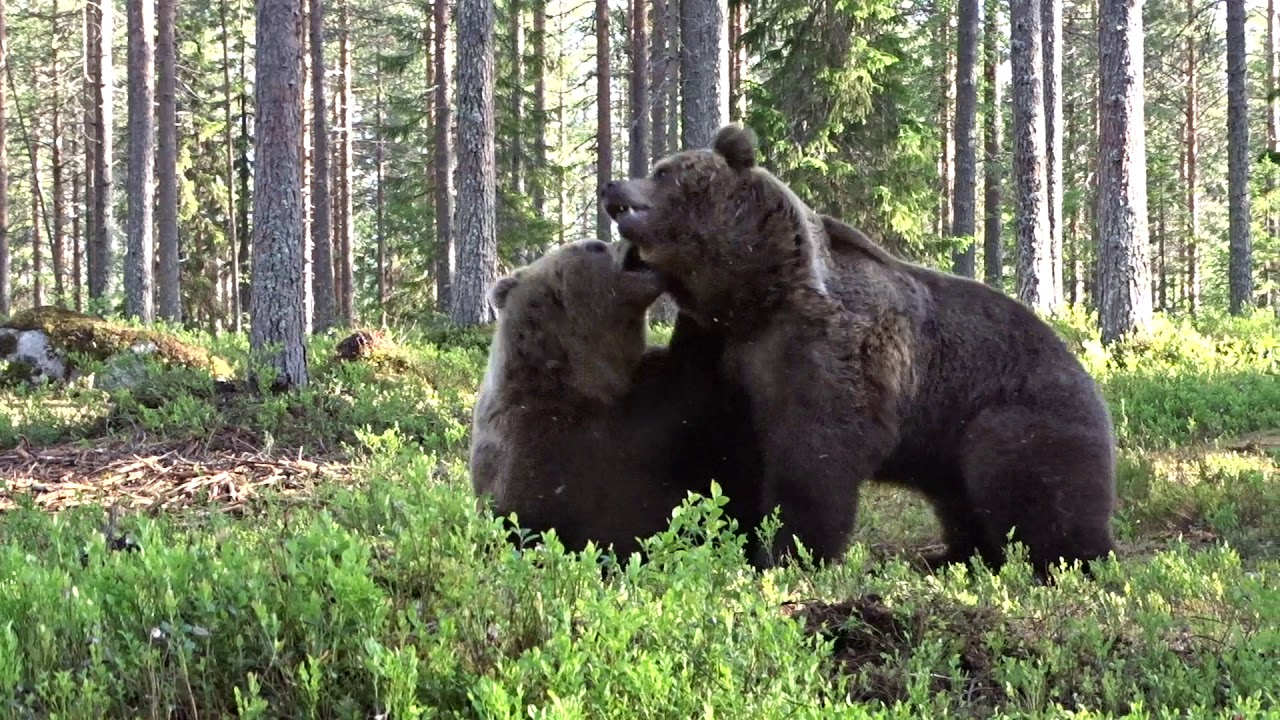 Best Bear fight ever! - YouTube